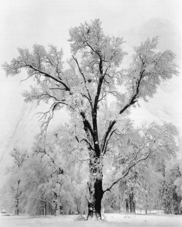 medium_adams_oak_tree_snowstorm.jpg